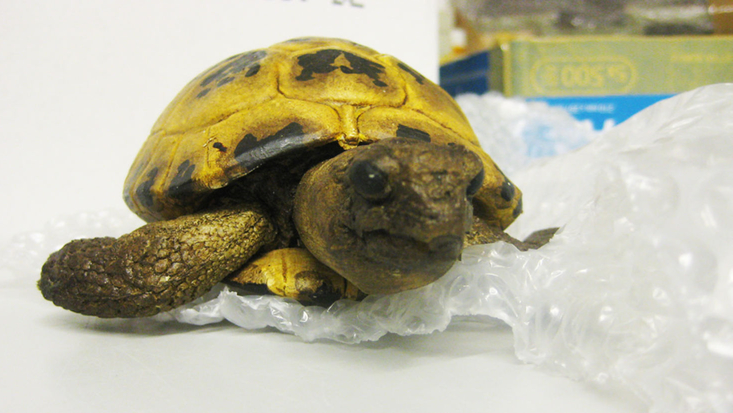Tortoise from the Esio Trot film