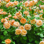 The Roald Dahl (Ausowlish) Rose